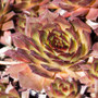 Sempervivum Positively Glowing in March