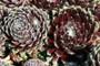 Sempervivum Smits Seedling in March