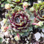 Sempervivum Soothsayer in March