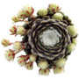 Sempervivum Tomentosum in May
