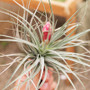 Houston Dark Pink Tillandsia