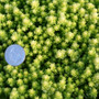 Sedum Gold Moss in March