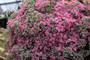 Sedum Cauticolum Flowers