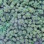 Blue Carpet Sedum