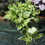 Trailing Succulent Aptenia