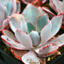 Afterglow Echeveria in July