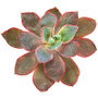 Afterglow Echeveria