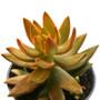 Sedum Nussbaumerianum Succulent