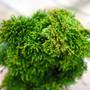Thoweil Hinoki Mini Conifer Foliage