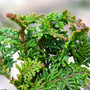 Fernleaf Hinoki Mini Conifer Foliage