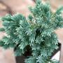 Blue Star Juniper Mini Conifer Needles