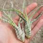 Caput Striped White Tillandsia
