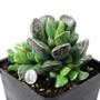 Adromischus cooperi Succulent