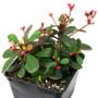 Euphorbia milii Succulent