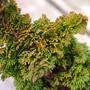 Primo Arborvitae Mini Conifer Foliage