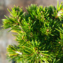Tompa Spruce Mini Conifer Needles