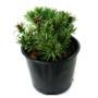 Mugo Pine Slowmound