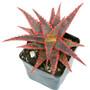 Christmas Sleigh Aloe Succulent in February