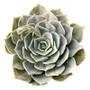 Echeveria Pollux