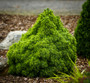 Humpty Dumpty Dwarf Alberta Spruce mature size