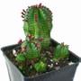 Euphorbia Tanzanian Zipper Plant