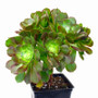 Aeonium Blushing Beauty