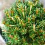 Jessy's Spruce Mini Conifer Needles