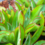 Echeveria Subrigida Succulent