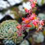 Minima Echeveria Flower