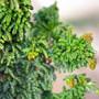 Chirimen Mini Conifer Foliage