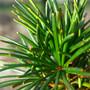Wintergreen Umbrella Pine Mini Conifer Needles