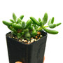 Delosperma echinatum Pickle Plant