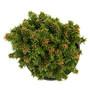 Thumbelina Norway Spruce