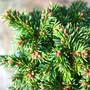 Thumbelina Mini Conifer Needles