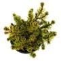 Short Needle Mugo Pine