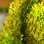 Morgan Arborvitae Mini Conifer Foliage