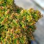 Tenzan Cedar Mini Conifer Needles