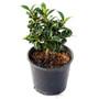 Rock Garden Holly