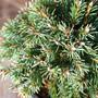 Hedge Hog Spruce Mini Conifer Needles