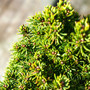 Pixie Dust Spruce Mini Conifer Needles
