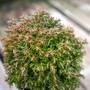 Cumulus Mini Conifer Foliage
