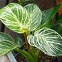 Birkin Philodendron Houseplant