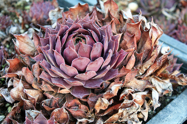Removing Dead Leaves from Hens and Chicks