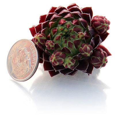 Small to Extra-Large Hens & Chicks