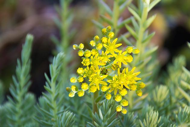 Succulent Plant Flowers