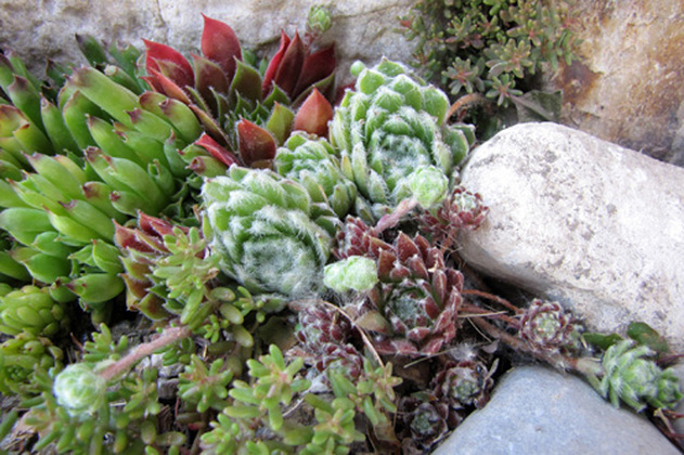 Tips to Propagate Hens and Chicks