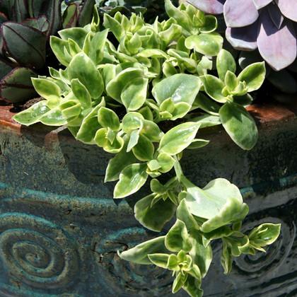Trailing Succulent Plant