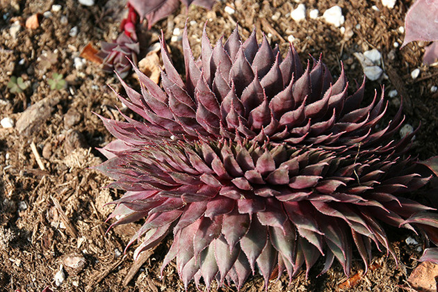 Sempervivum Cristate Mutation