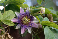 Feeling stressed? Passiflora just got punchy… (… and your stress doesn't stand a chance)