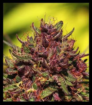 Purple Mountain Majesty - Fem